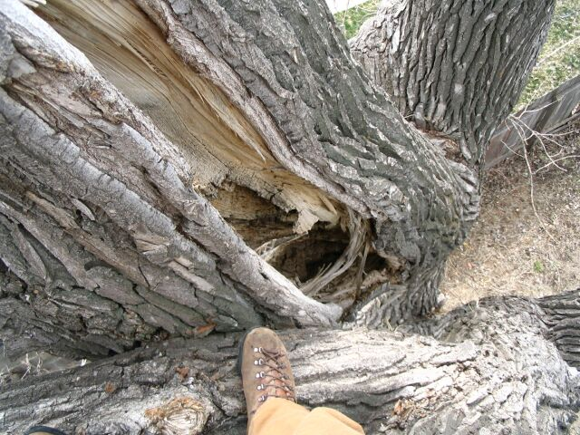 A major crack in a large cottonwood limb
